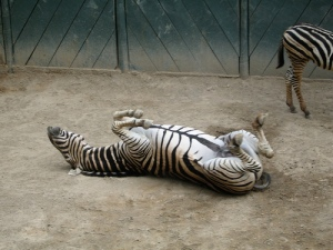 Spread eagle zebra