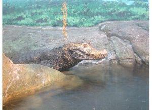 Leering croc