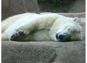 Snoozy polar bear